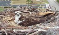 Orange Beach Osprey Nest Webcam 14