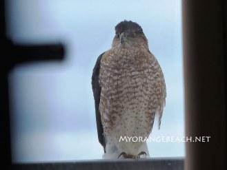 Hawk-on-a-Rail-MyOrangeBeach-Jan-2016-04