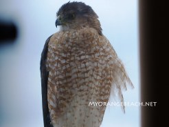 Hawk-on-a-Rail-MyOrangeBeach-Jan-2016-06