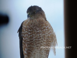 Hawk-on-a-Rail-MyOrangeBeach-Jan-2016