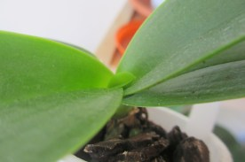 A new leaf on this no ID Phalaenopsis that I purchased from a local garden centre - from the reduced section.