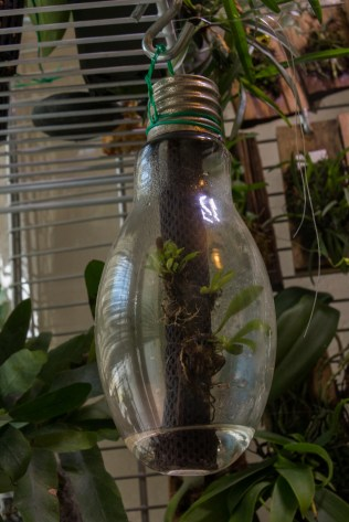 Tentative of growing orchid in a bulb