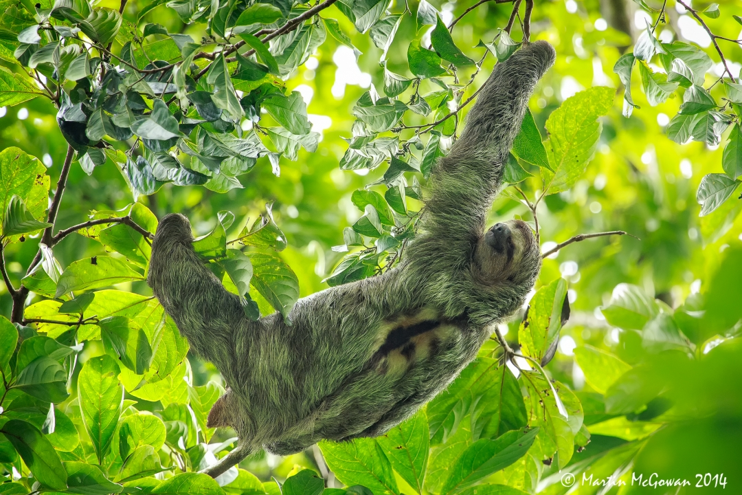 Sloth in the tree above