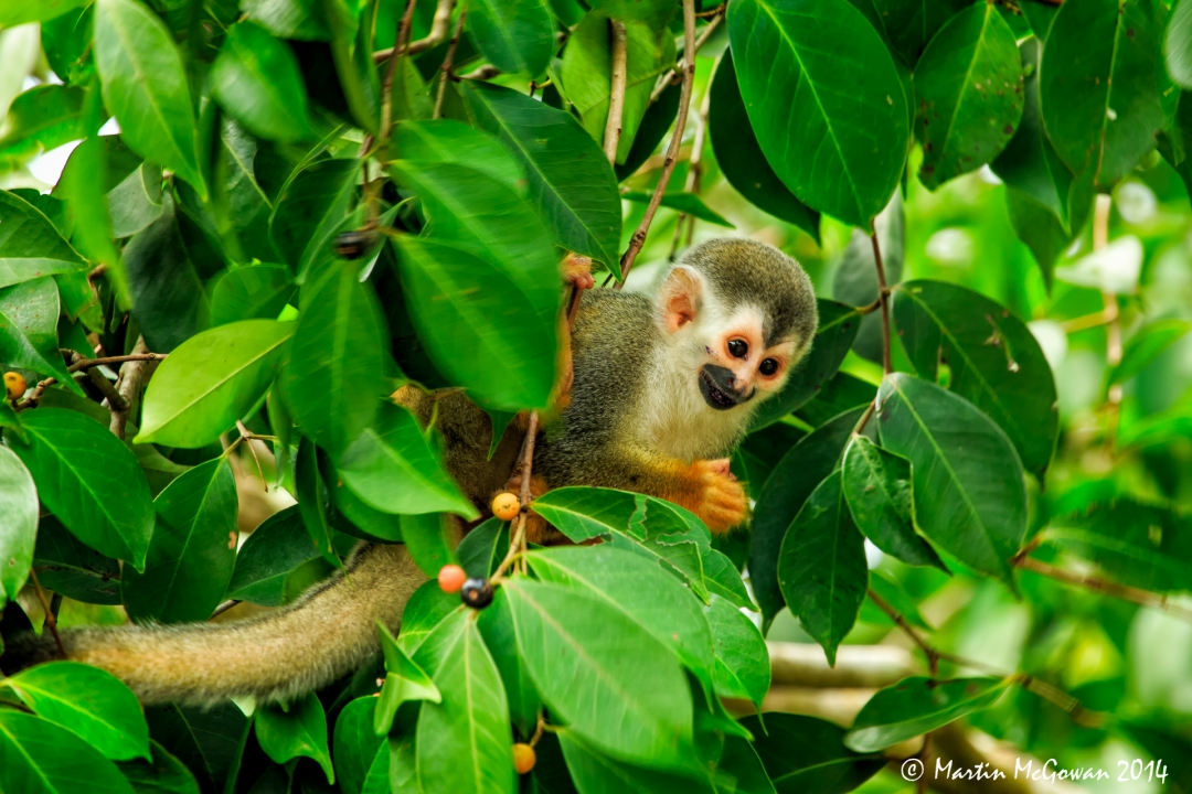 Manuel Antonio National Park, Squirrel Monkey