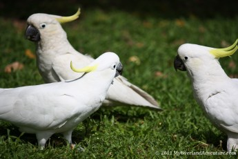 Cockatoos in the Botanical Gardens