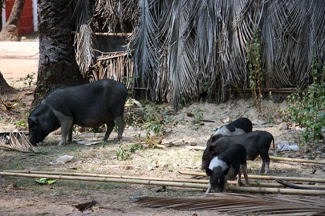 Local Pigs