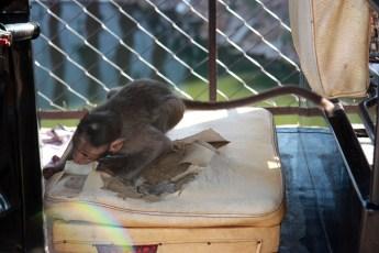 Monkey ripping apart rickshaw