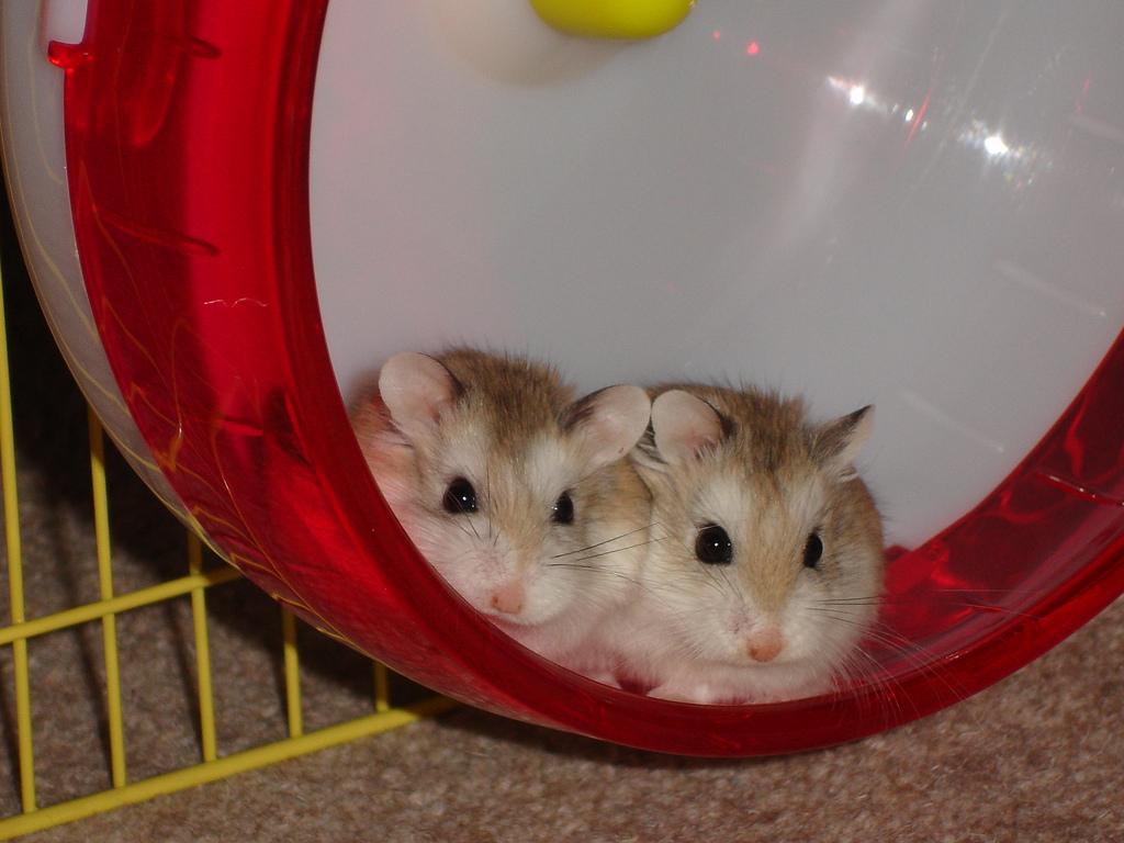 10 easy hamster care