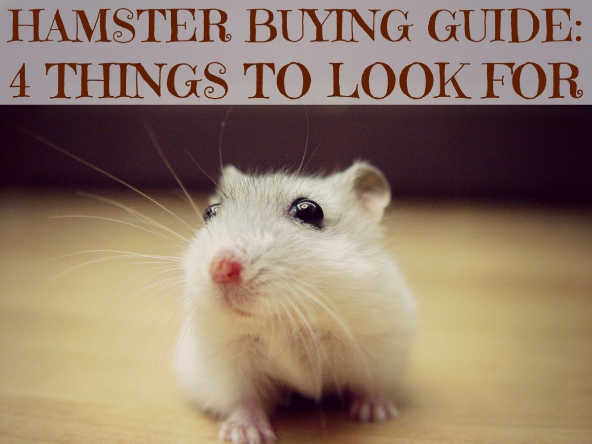hamster buying guide 4