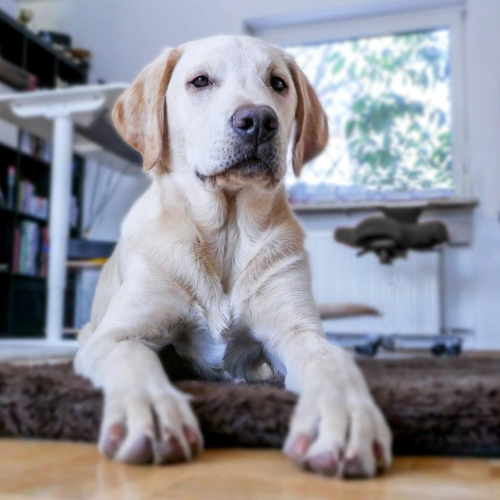 labrador in apartment