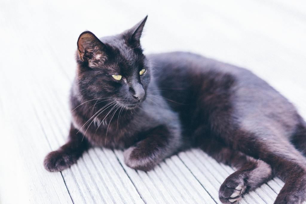 Image of a Bombay cat in Popular Cat Breeds In India