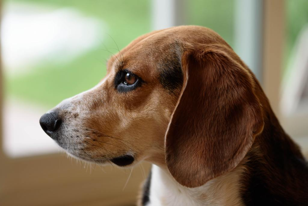 Image of the dog breed - Beagle in Top 10 Dog Breeds In India