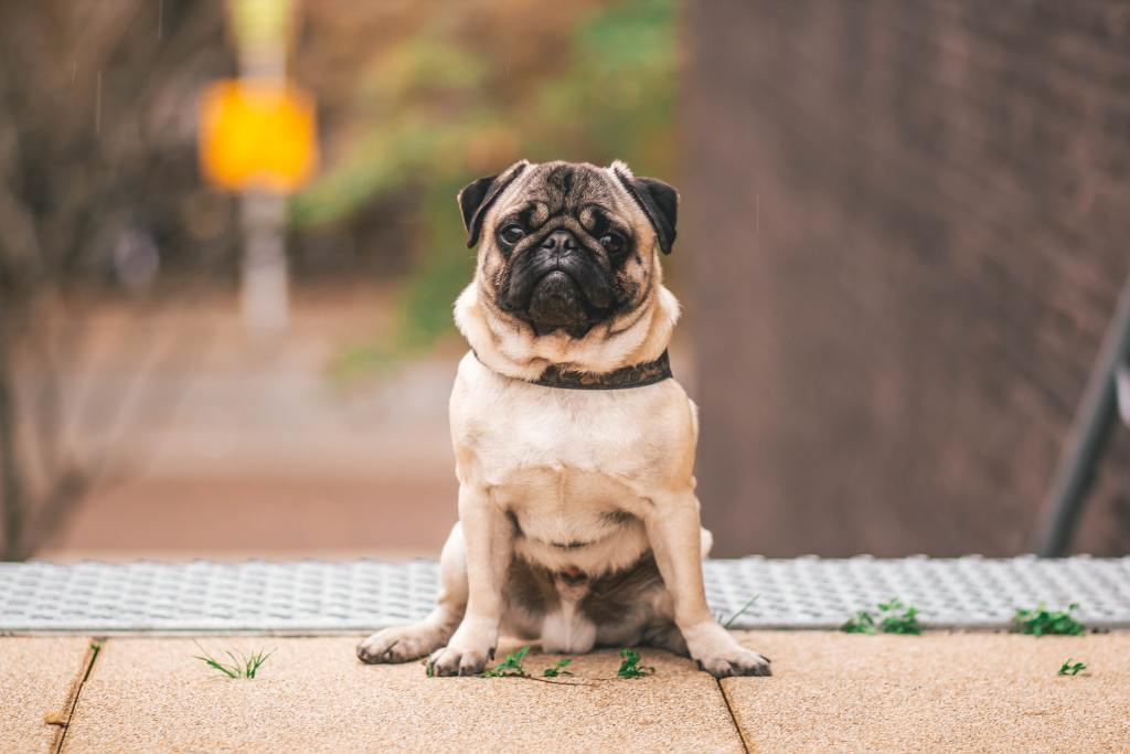 Image of the dog breed - Pug in Top 10 Dog Breeds In India