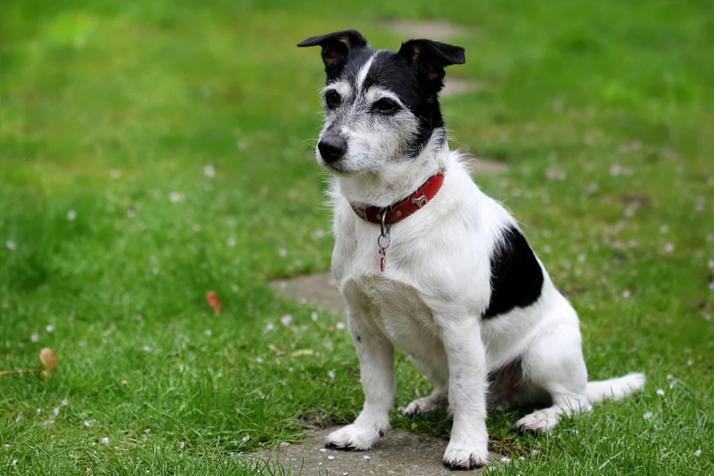 Image of Jack Russel Terrier - Popular dog breeds