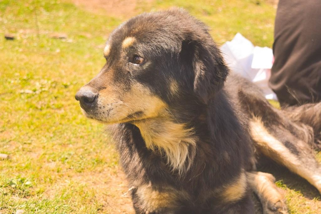 Image of Himalayan guard dog - Popular dog breeds