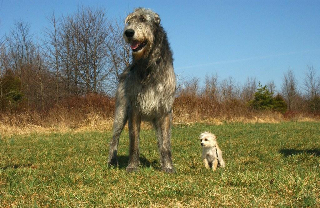 Image of Irish Wolfhound - Popular dog breeds