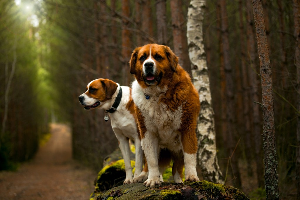 Image of a St. Bernard in the popular dog breeds series