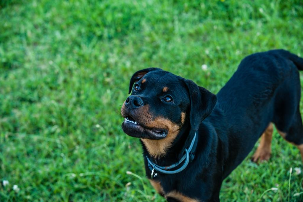 Image of a Rottweiler in the popular dog breeds series