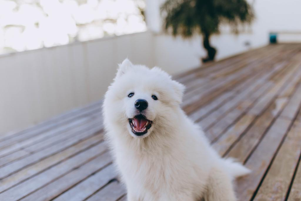 Image of a Samoyed in the popular dog breeds series