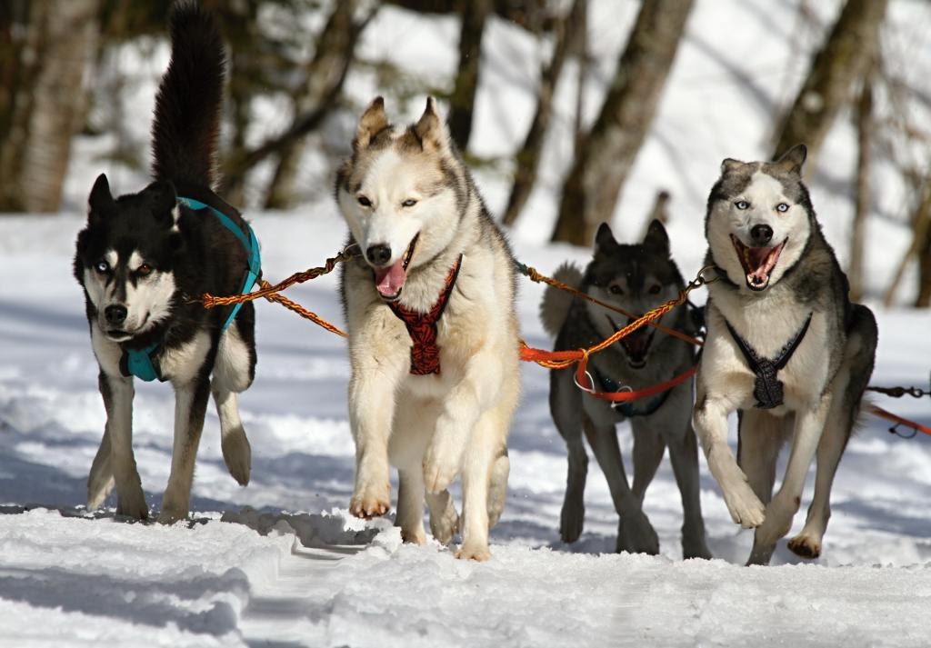 Image of a Siberian Huskies in the popular dog breeds series