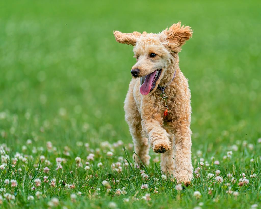 image of a Poodle in the article popular dog breeds