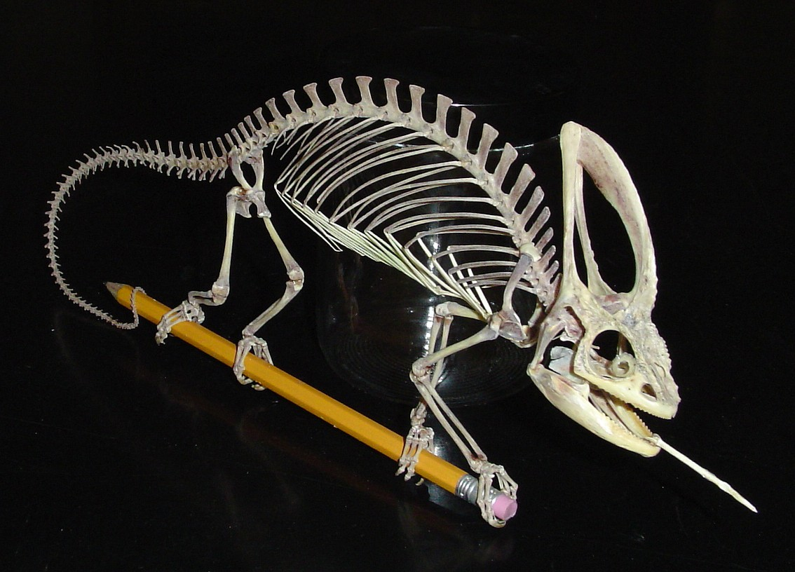 skunk skeleton diagram two way light switch wiring uk anatomy of a chameleon my pet