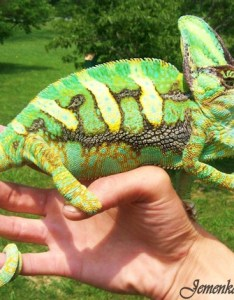 Adult male veiled chameleon in threatening colors also healthy for chameleons my pet rh mypetchameleon