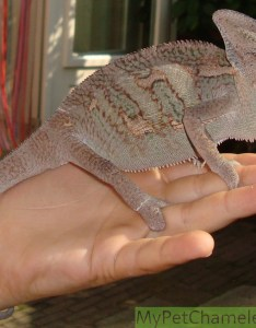 Dark color veiled chameleon also healthy colors for chameleons my pet rh mypetchameleon