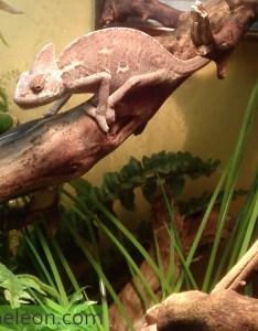 Dark colored veiled chameleon also healthy colors for chameleons my pet rh mypetchameleon