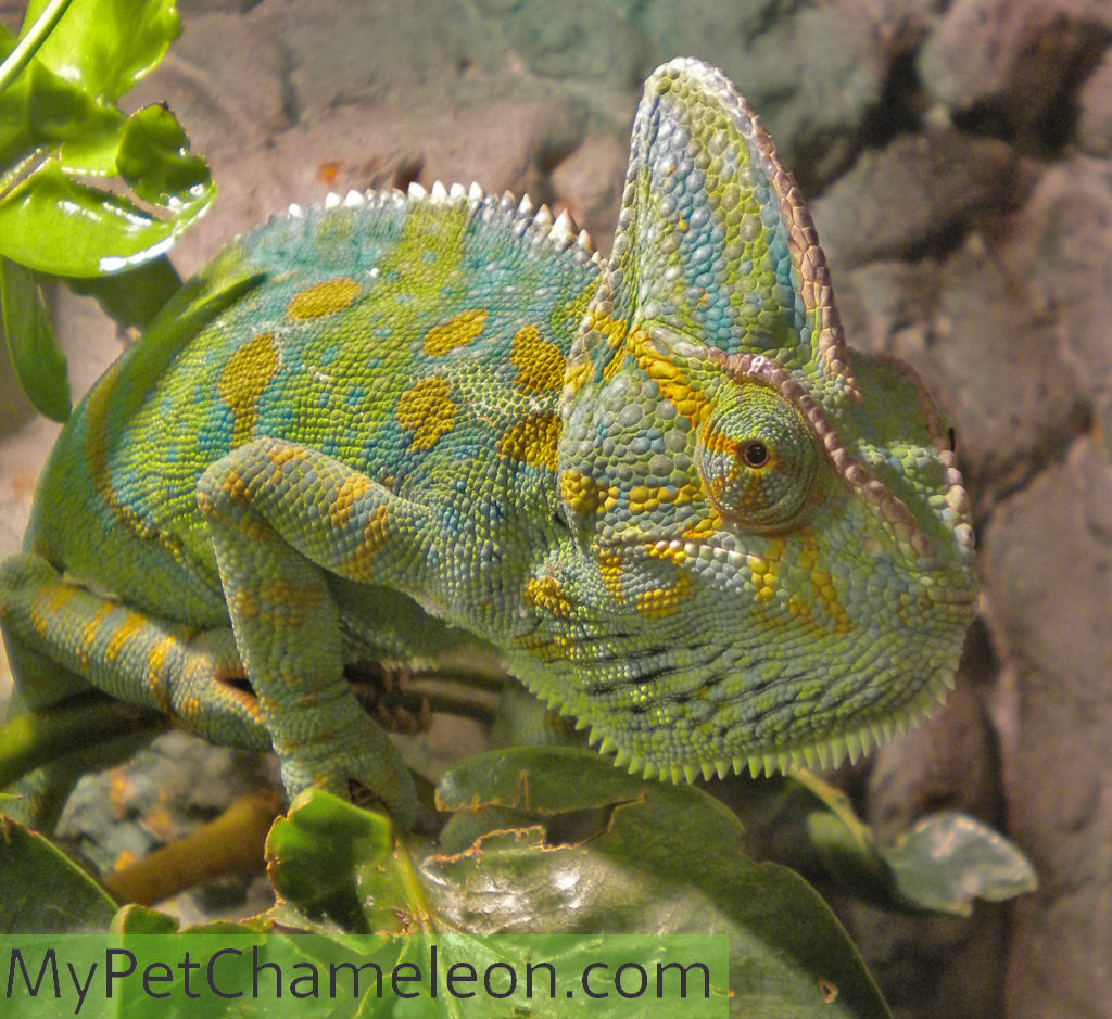 Healthy Colors For Chameleons  My Pet Chameleon