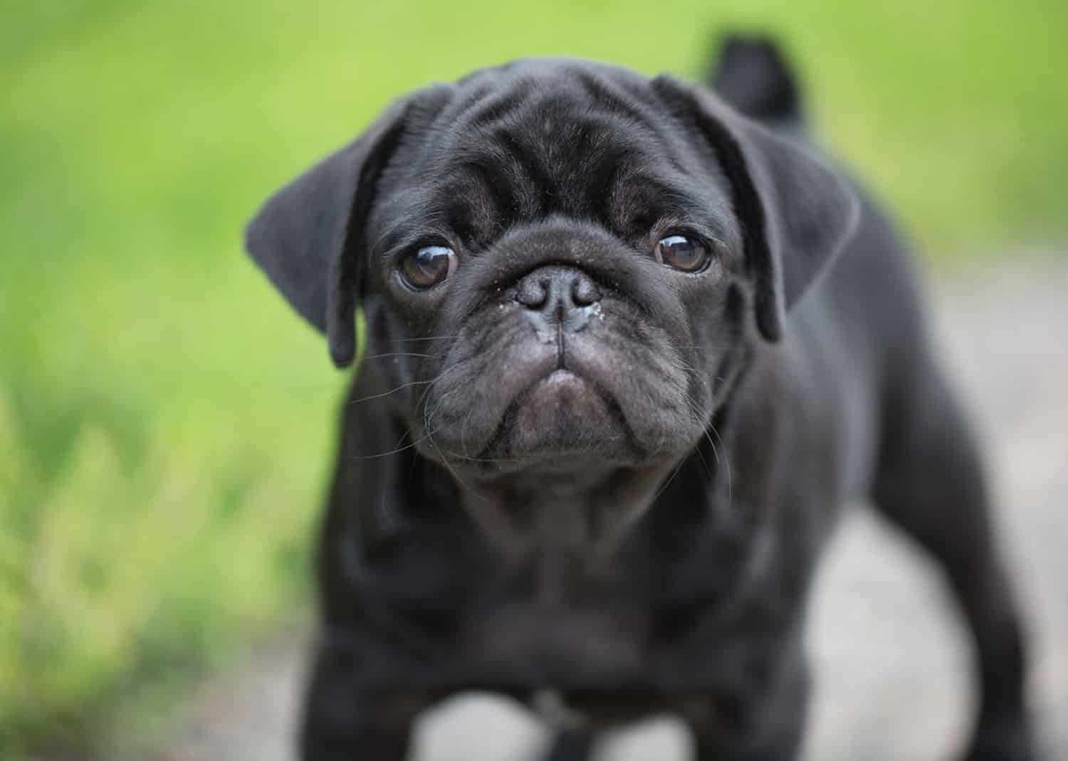 It S A Pug S Life The Long And Interesting History Of The Pug Dog My Pet Matters