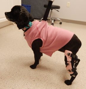 Case Study: Lucy – a Cocker Spaniel with a Stifle Brace for a Postsurgical CCL Repair 2