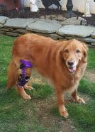 Case Study: Emmie - Golden Retriever With A CCL Injury 1