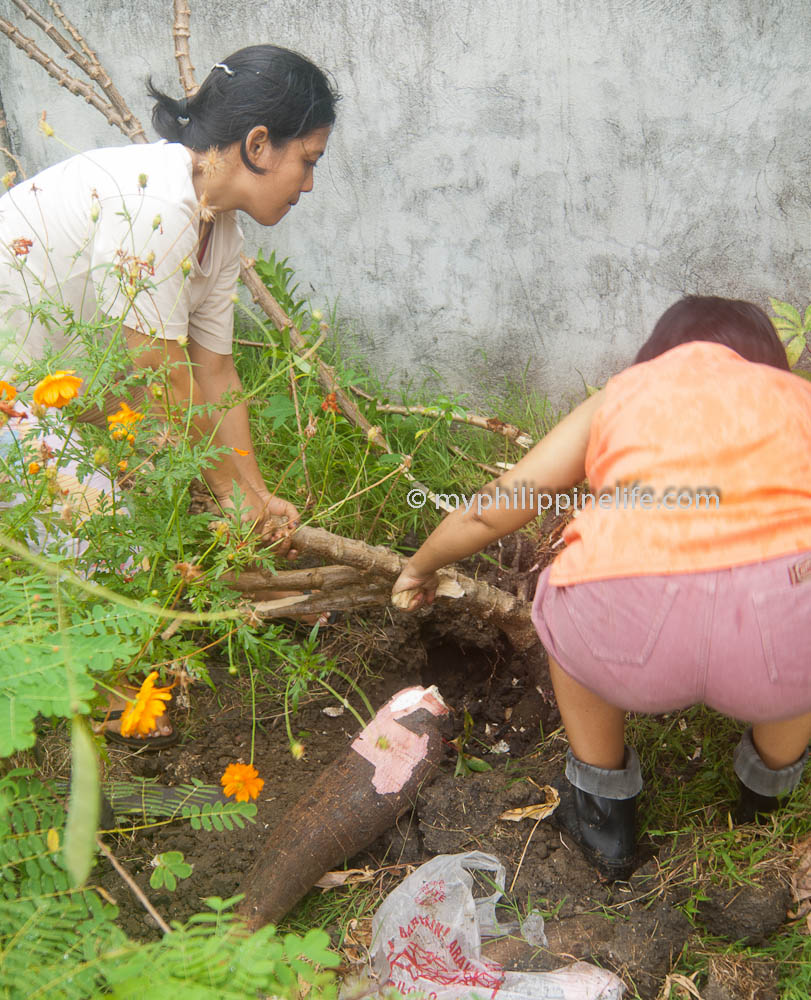 Digging Cassava roots