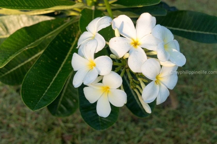 Our little Frangipani (Plumara) just won't stop blooming even though it's only 3' high.