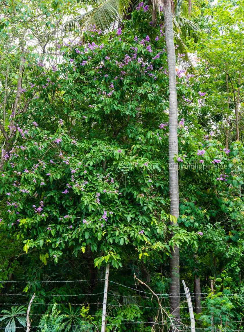 Roadside Banaba Tree (Pride of India), National Highway, Miagao, Iloilo