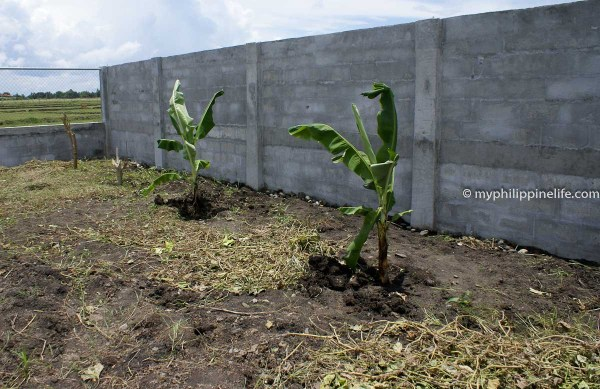 early_plantings_bananas