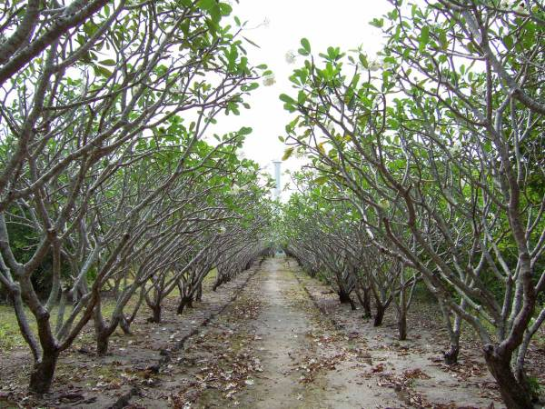 Fabulous Frangipani-lined Path to Light House, Nogas Island, Antique Province, Philippines