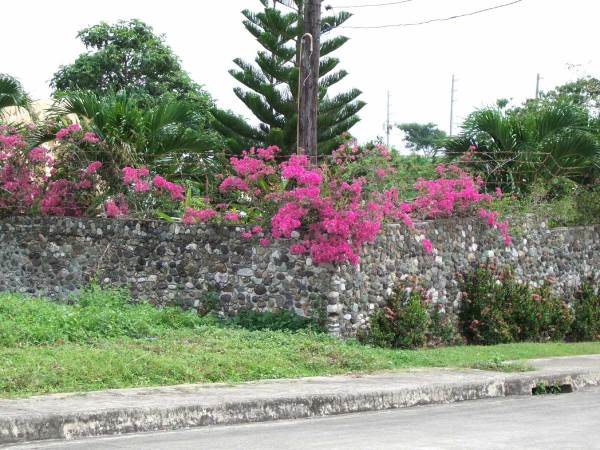 Bougainvillea covered wall, Alta Vista, Cebu City, Philippines