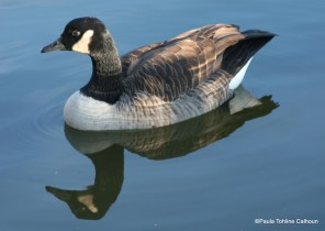 Canada Goose on still water