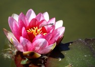 Water Lily - June 2012