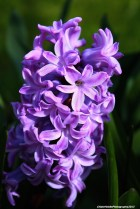 Blue hyacinth copyrighted