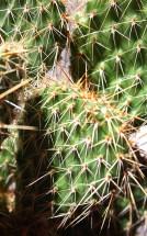 Cactus Spines 1