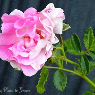 The Rose By Any Other Name … is Still Grandma's
