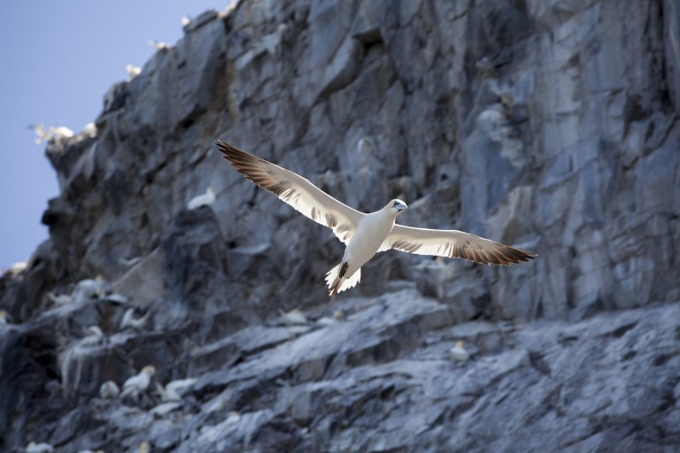 A white bird flying in front of a big rock.