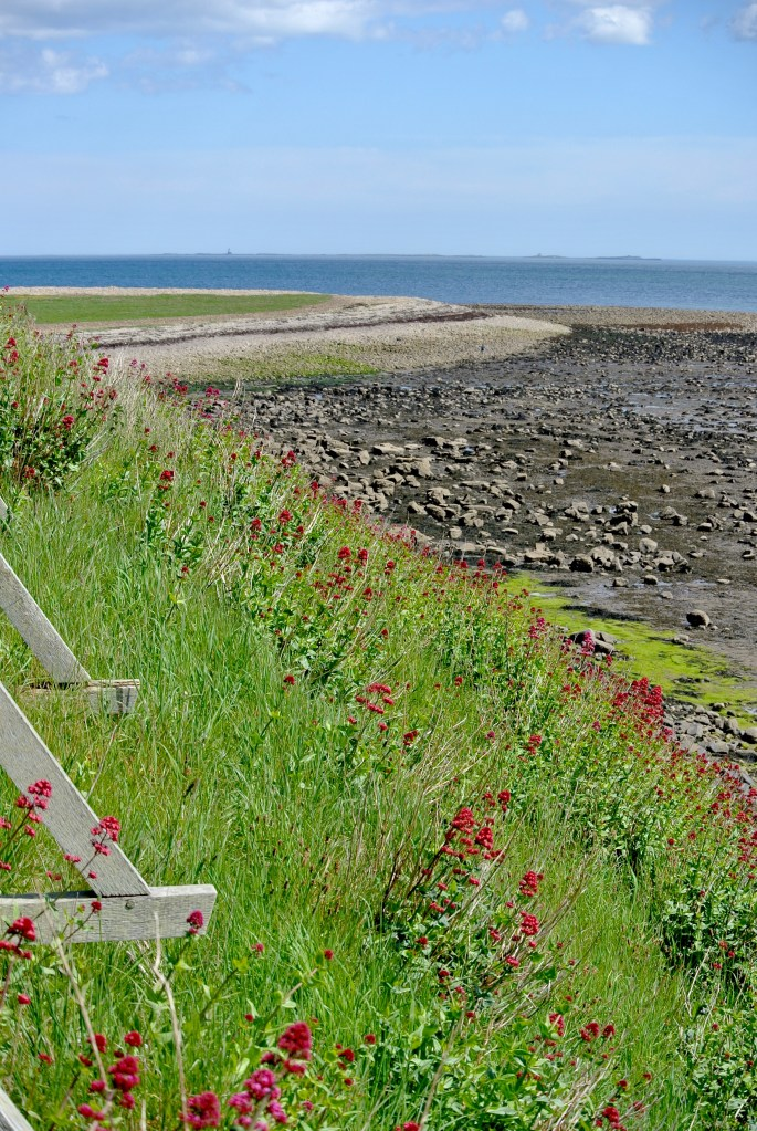 Red wildflowers growing on a hillside with a rocky beach and the North Sea in the distance.