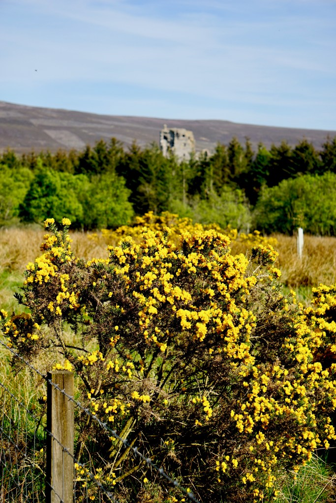 Yellow gorse in the foreground and Auchindoun Castle in the background.
