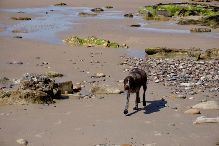 A dog on the beach at Cove Bay.