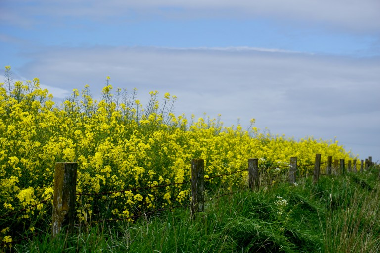 A field of bright yellow rapeseed behind wooden fenceposts.