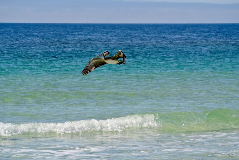 A pelican mid flight against the turquoise waters of the Gulf of Mexico.